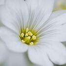 White flower by flashcompact