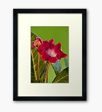 gloxinia indoor flowers Framed Print