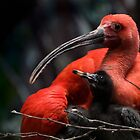 Scarlet Ibis with young by hanspeters