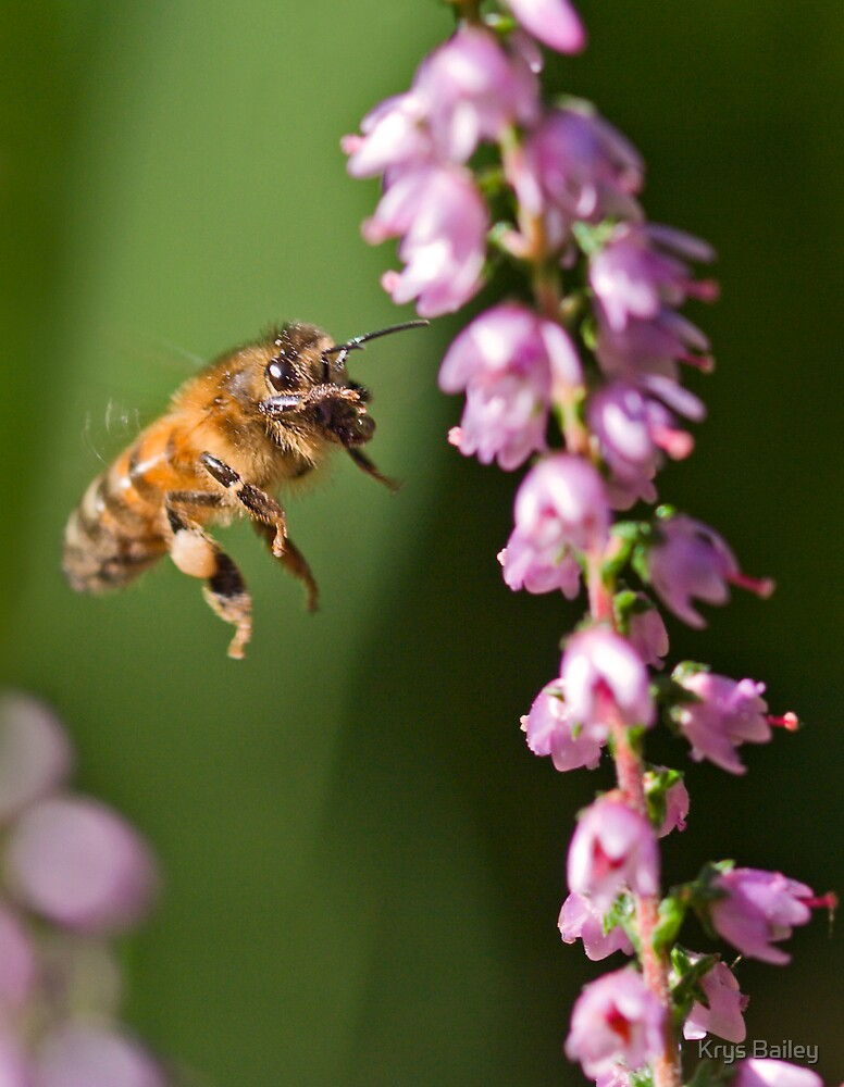 Honey Bee and Heather by Krys Bailey