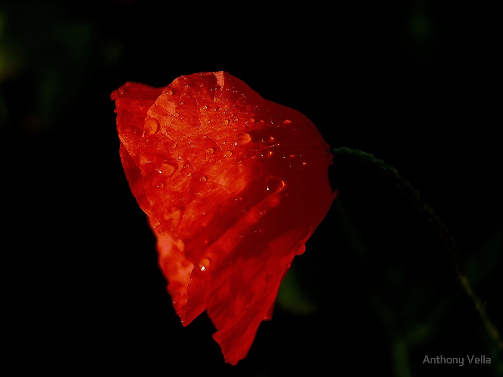 Dew drops on Red Poppy by Anthony Vella