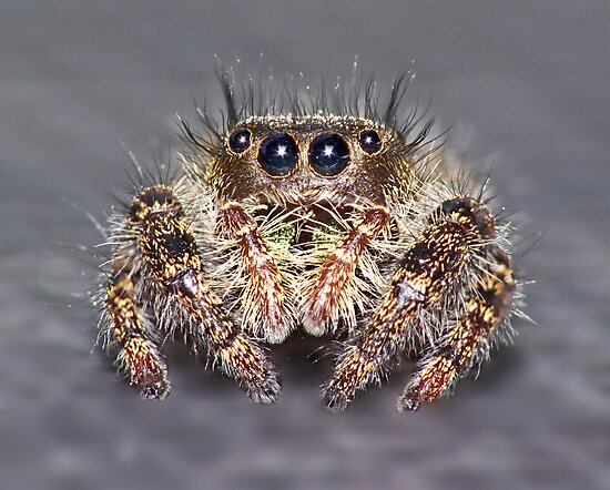 """"""" Don King"""" Jumping Spider by robkal"""