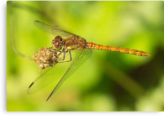 Common Darter by MikeSquires