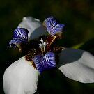 Walking Iris by Jonicool
