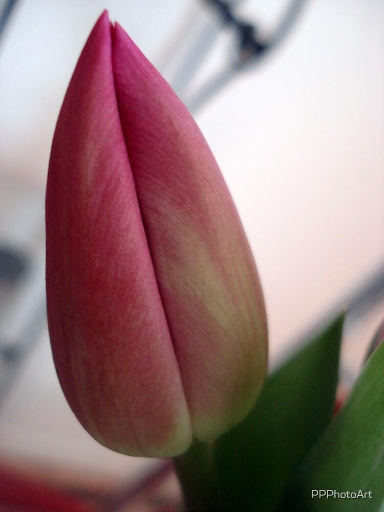 tulip bud by PPPhotoArt