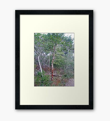 Wild Holly Trees - Buxton - Hatteras Island - North Carolina - Outer Banks Framed Print
