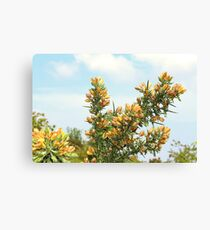 Blooming Gorse Canvas Print