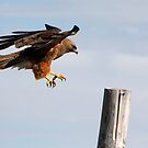 Swainson's Hawk by Alyce Taylor