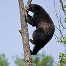 Tree Climber by Bear-Images
