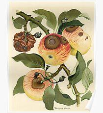 Bitter Rot of Apple Poster