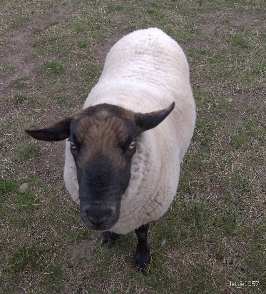 Pet Ram by lettie1957