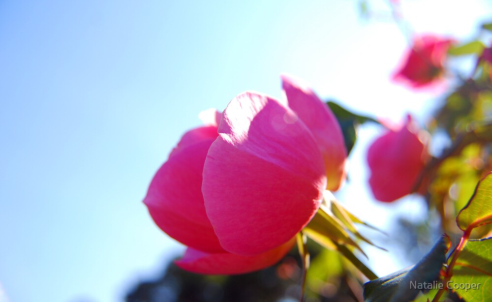 Sunkissed Rose by Natalie Cooper
