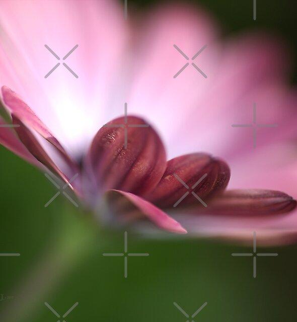 Beautiful African Daisy Flower by Joy Watson