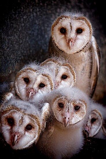 Barn Owls by Pene Stevens