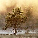 29.6.2017: Pine Tree by Petri Volanen