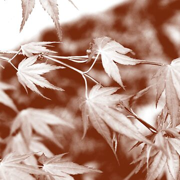 Japanese Maple  by mlwhite