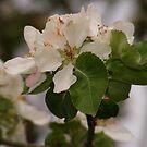 apple blossom  by rebecca smith