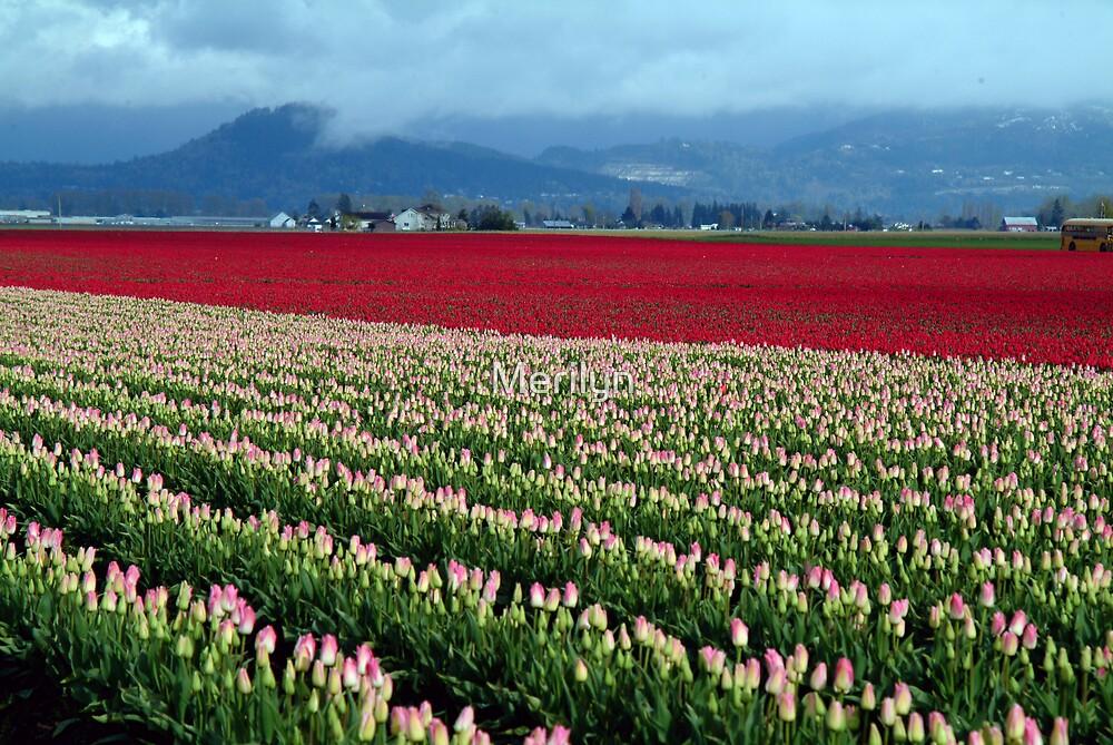 Spring Tulip in the Field by Merilyn