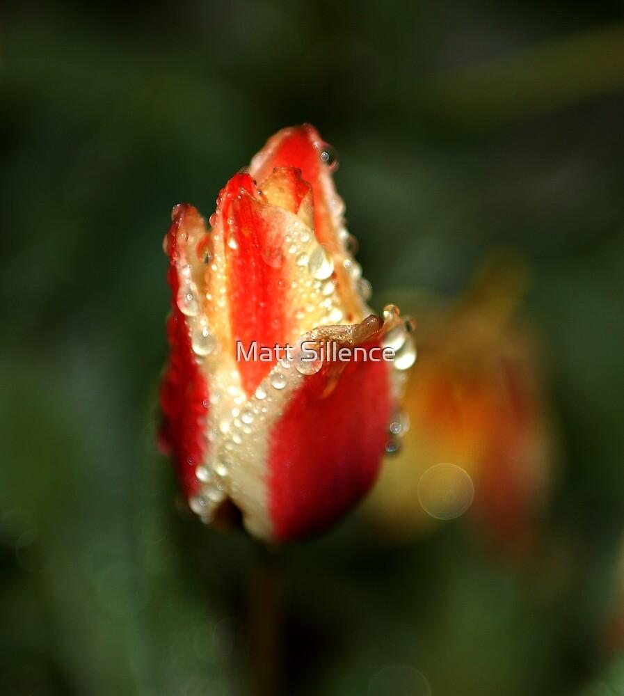 Tulip after rain by Matt Sillence