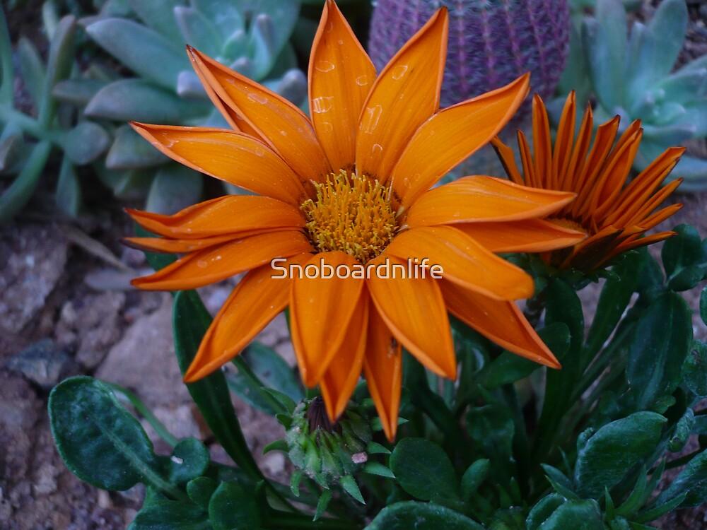 Orange Daisy by Snoboardnlife