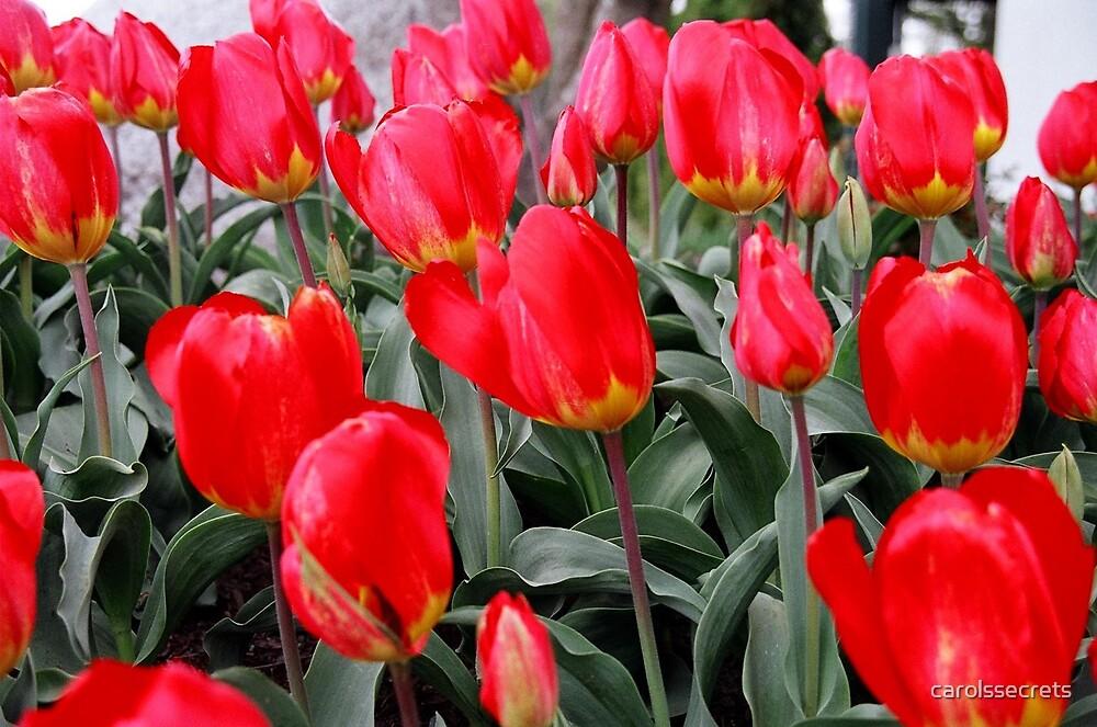Tulips by carolssecrets