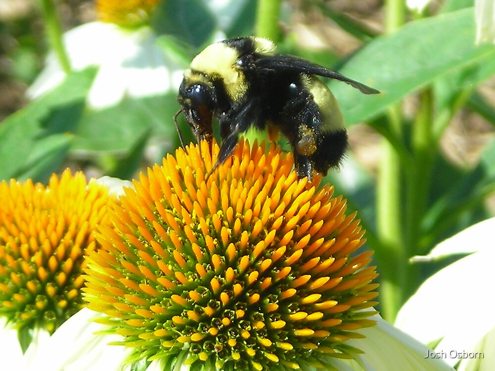 Bee by Josh Osborn