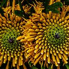 Isopogon anemonifolius. by Bette Devine