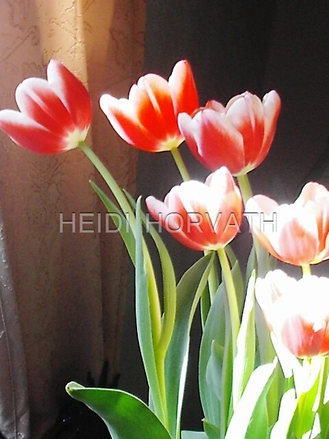 Tulips... by HEIDI  HORVATH