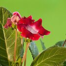 Red gloxinia flowers by mrivserg