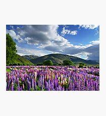 Lupin Field Photographic Print