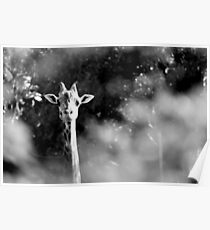portrait of giraffe Poster