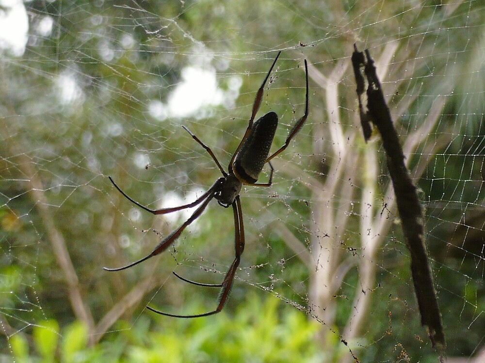 Amazon Spider by Nathaniel Taylor
