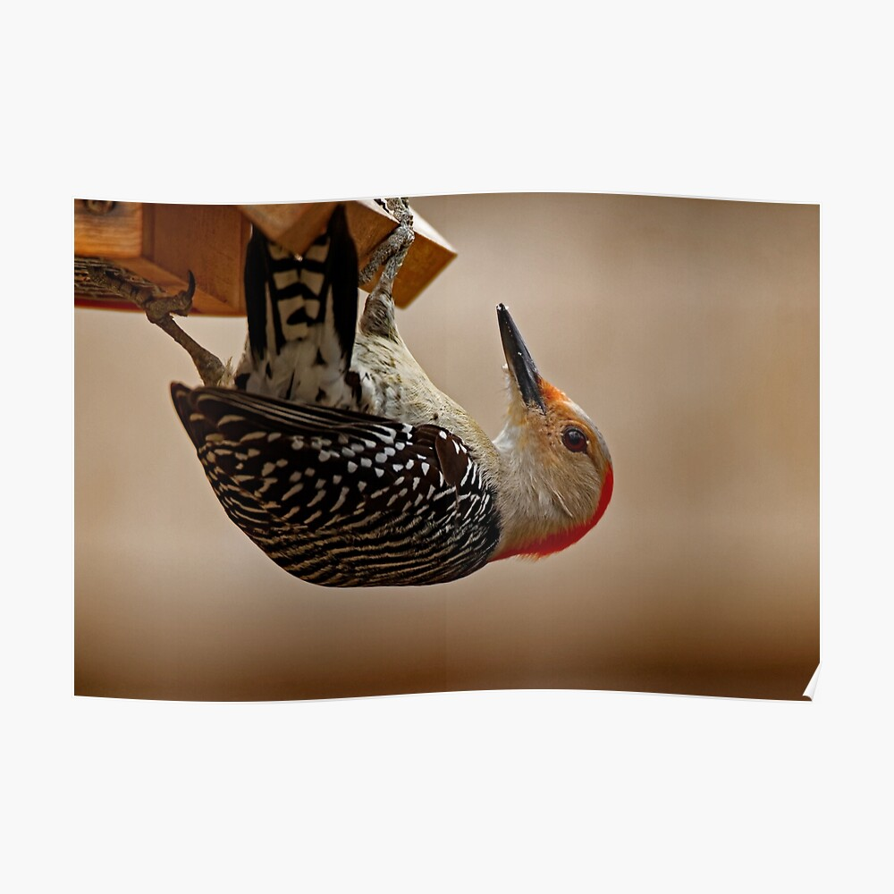 Red-Bellied Woodpecker on a Feeder Poster