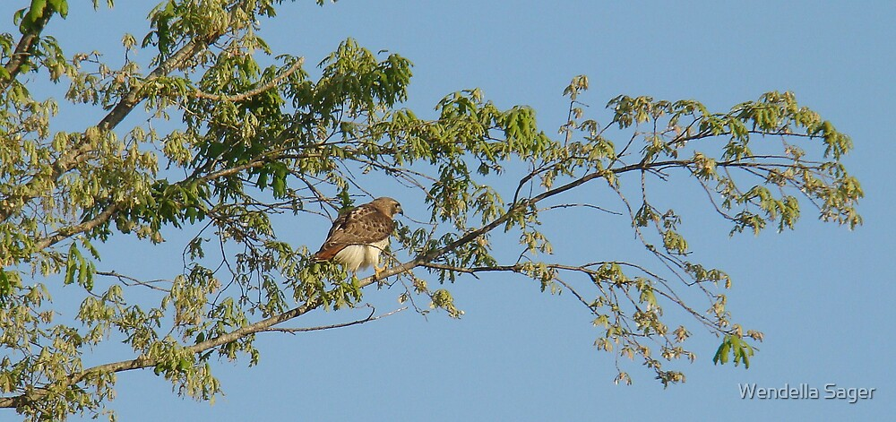 Red-tailed Hawk by Wendella Sager