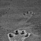 Paw prints by Peter Wickham