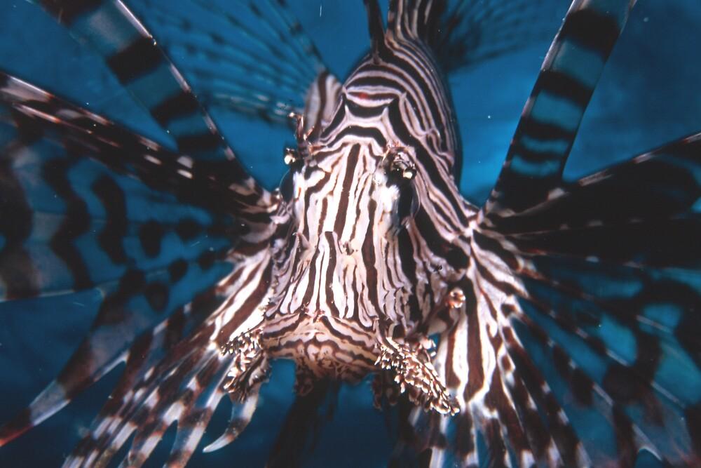Lion Fish Papua New Guinea by margielm