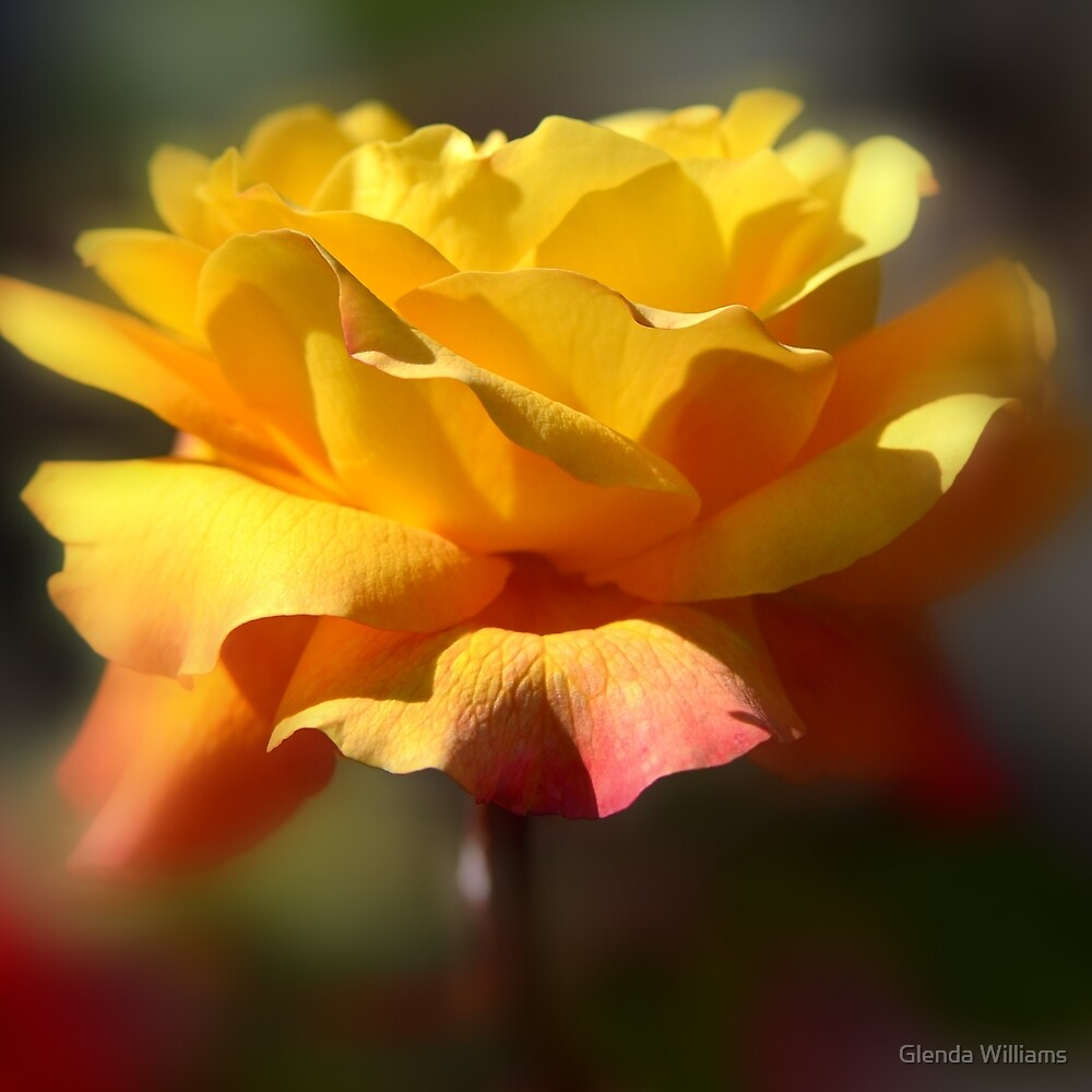 Summer Rose by Glenda Williams