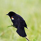 Blackbird on a Branch by Alyce Taylor