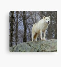 Arctic Wolf Watching Metal Print