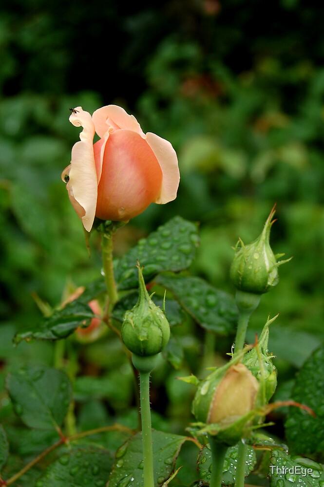 Rose by ThirdEye