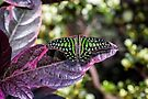 Tailed Jay by PhotosByHealy