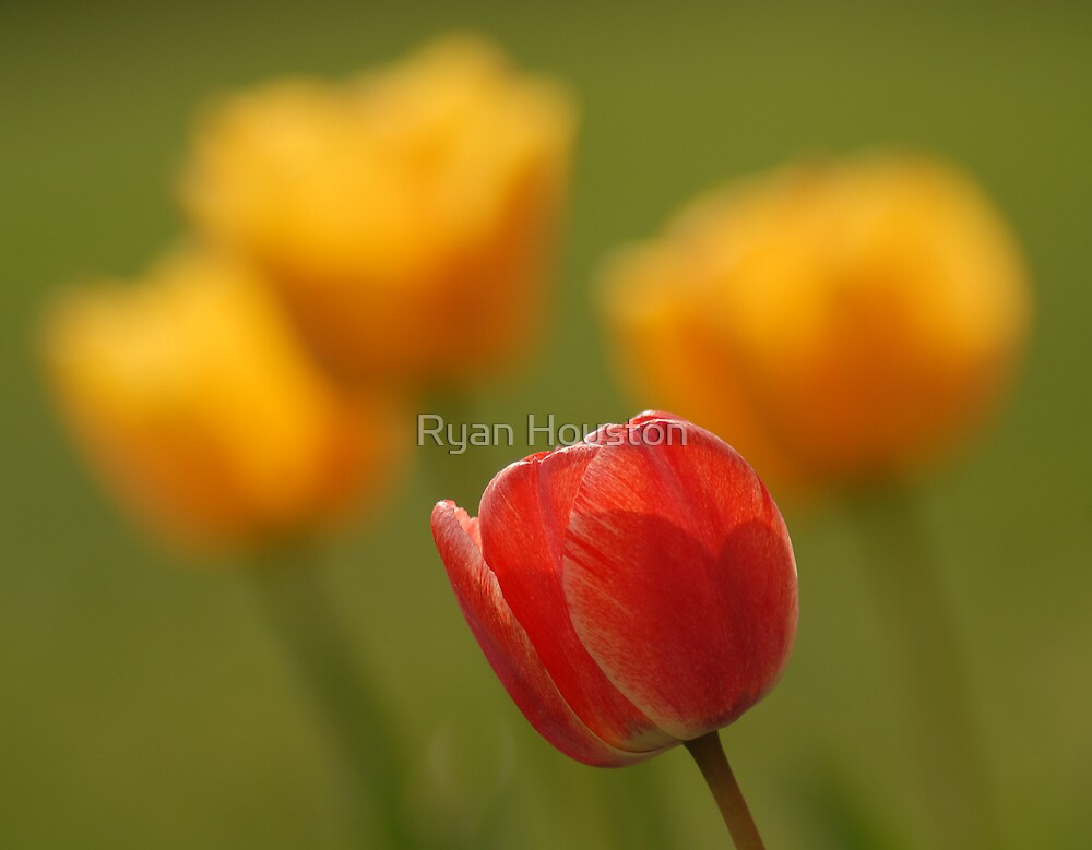 Tulips - A Season of Spring by Ryan Houston