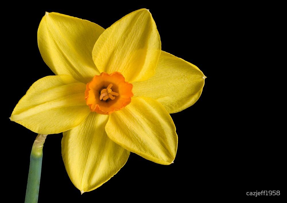 daffodil by cazjeff1958