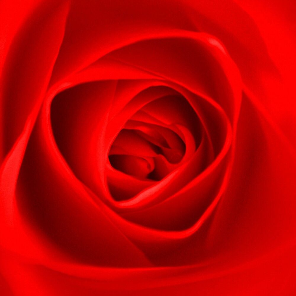 Red Rose by goodie