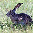 Jack Rabbit by Sandra Moore