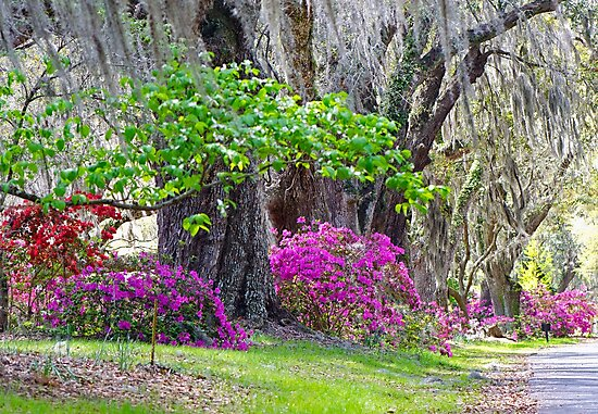 The Road to Magnolia Gardens by TJ Baccari Photography