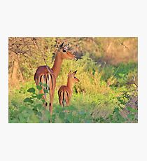 Impala - African Wildlife - Adorable New Life Photographic Print