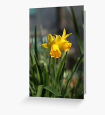 lone dafodils........ Greeting Card