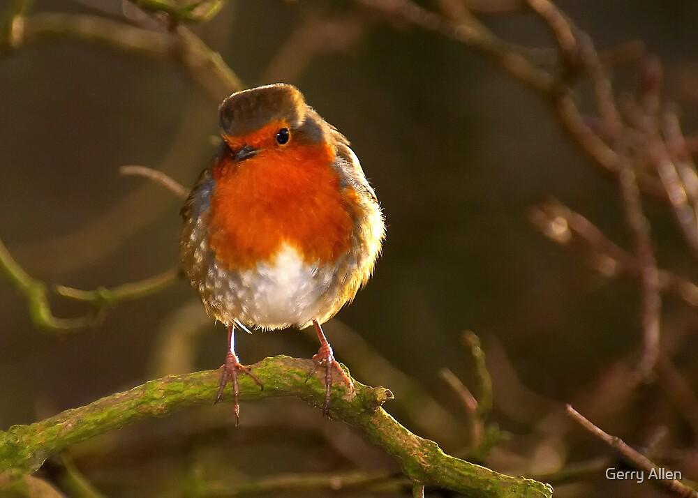Watching Robin by Gerry Allen