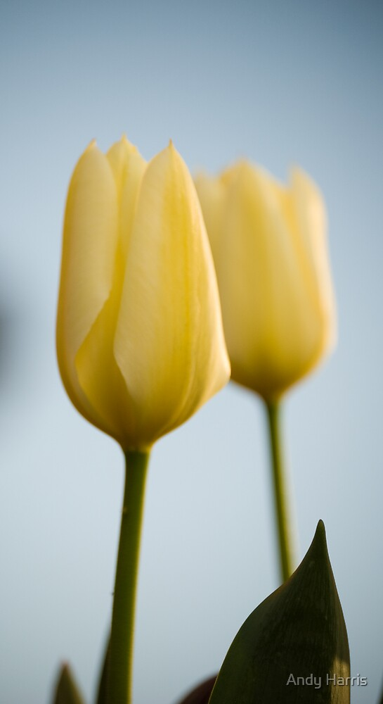 Tulips by Andy Harris